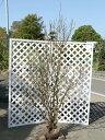 ニオイバンマツリ 1.2m露地 1本【1年間枯れ保証】【春に花が咲く木】...