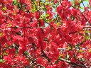 【1年間枯れ保証】【春に花が咲く木】ボケ 0.5m15cmポット 【あす楽対応】
