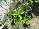 【1年間枯れ保証】【夏に花が咲く木】ハイビスカス 0.3m 【あす楽対応】