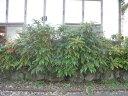 【1年間枯れ保証】【葉や形を楽しむ木】ヒイラギナンテン 15cmポット 【あす楽対応】