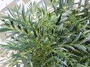 【1年間枯れ保証】【葉や形を楽しむ木】ヒイラギナンテン/マホニアコンフューサ 0.6m露地 【あす楽対応】