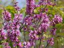 【1年間枯れ保証】【春に花が咲く木】ハナズオウ 1.0m15cmポット 【あす楽対応】
