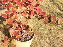 【1年間枯れ保証】【春・夏に収穫する果樹】ブルーベリー/シャープブルー 15cmポット  【あす楽対応】