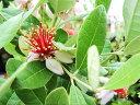 【1年間枯れ保証】【葉や形を楽しむ木】フェイジョア 0.3m10.5cmポット 【あす楽対応】