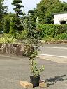 フェイジョア 0.8m15cmポット 1本【1年間枯れ保証】【葉や形を楽しむ木】