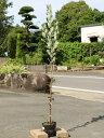 フェイジョア 1.2m15cmポット 2本セット【1年間枯れ保証】【葉や形を楽しむ木】
