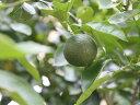 【1年間枯れ保証】【秋に収穫する果樹】ヘベス 15cmポット  4本セット 送料無料 【あす楽対応】