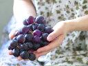 【1年間枯れ保証】【秋に収穫する果樹】ブドウ/巨峰 15cmポット  5本セット 送料無料 【あす楽対応】