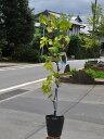 【1年間枯れ保証】【秋に収穫する果樹】ブドウ/デラウェア 15cmポット  3本セット 送料無料 【あす楽対応】