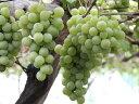 【1年間枯れ保証】【秋に収穫する果樹】ブドウ/ナイアガラ 15cmポット  3本セット 送料無料 【あす楽対応】