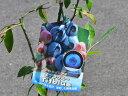 【1年間枯れ保証】【春・夏に収穫する果樹】ブルーベリー/ティフブルー 10.5cmポット 【あす楽対応】