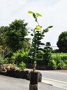 【1年間枯れ保証】【冬に収穫する果樹】ブンタン/サワーポメロ(大橘) 15cmポット