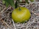 【1年間枯れ保証】【冬に収穫する果樹】ブンタン/春光柑 15cmポット