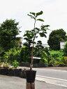 【1年間枯れ保証】【冬に収穫する果樹】ブンタン/本田(阿久根) 15cmポット  3本セット 送料無料