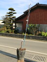【1年間枯れ保証】【秋に収穫する果樹】ブドウ/安芸クイーン 15cmポット  3本セット 送料無料 【あす楽対応】
