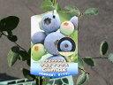 【1年間枯れ保証】【春・夏に収穫する果樹】ブルーベリー/クライマックス 10.5cmポット 3本セット 送料無料 【あす楽対応】