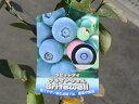 【1年間枯れ保証】【春・夏に収穫する果樹】ブルーベリー/ブライトウェル 10.5cmポット 【あす楽対応】