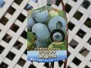 【1年間枯れ保証】【春・夏に収穫する果樹】ブルーベリー/ブリジッタ 10.5cmポット 【あす楽対応】