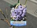 【1年間枯れ保証】【春・夏に収穫する果樹】ブルーベリー/ブルークロップ 10.5cmポット 【あす楽対応】