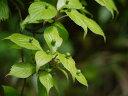 【1年間枯れ保証】【葉や形を楽しむ木】ハナイカダ/メス 0.8m15cmポット 【あす楽対応】