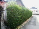 【1年間枯れ保証】【生垣樹木】マサキ 0.5m10.5cmポット 30本セット 送料無料 【あす楽対応】