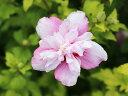 【1年間枯れ保証】【夏に花が咲く木】ムクゲ 0.8m15cm...