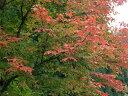 【1年間枯れ保証】【シンボルツリー落葉】メグスリノキ 2.5m露地 【配達指定不可/大型商品/個別送料2800円】