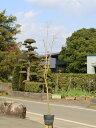 イロハモミジ 1.5m15cmポット 1本【1年間枯れ保証】【紅葉が美しい木】