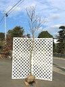 【1年間枯れ保証】【シンボルツリー落葉】ハクモクレン 2.3...