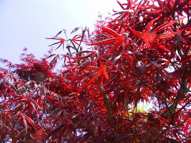 【1年間枯れ保証】【シンボルツリー落葉】ノムラモミジ 2.0m露地 【配達指定不可/大型商品/個別送料2800円】 鮮やかな赤色