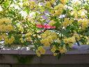 【1年間枯れ保証】【つる性】モッコウバラ/黄色 0.1m 【あす楽対応】