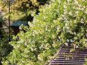 【1年間枯れ保証】【つる性】モッコウバラ/黄色 1.5m長尺 【あす楽対応】
