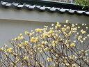 【1年間枯れ保証】【葉や形を楽しむ木】ミツマタ 0.3m10.5cmポット 【あす楽対応】