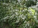 【1年間枯れ保証】【春に花が咲く木】ユキヤナギ 0.3m 【あす楽対応】