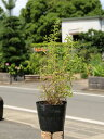 【1年間枯れ保証】【春に花が咲く木】ユキヤナギ 0.5m15...