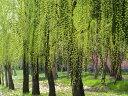 【1年間枯れ保証】【葉や形を楽しむ木】シダレヤナギ 0.3m...