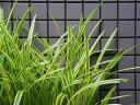 【1年間枯れ保証】【下草】斑入りヤブラン 0.1m 【あす楽対応】