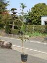 【1年間枯れ保証】【街路樹&公園樹】ヤマモモ 1.0m15c...