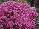 【1年間枯れ保証】【春に花が咲く木】ヨシノツツジ 0.6m 【あす楽対応】