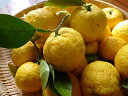 【1年間枯れ保証】【冬に収穫する果樹】ユズ/木頭柚子 15cmポット  3本セット 送料無料
