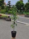 ユズ/木頭柚子 15cmポット  1本【1年間枯れ保証】【冬に収穫する果樹】