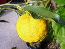 【1年間枯れ保証】【冬に収穫する果樹】ユズ/花柚子(とげなし) 15cmポット  3本セット 送料無料