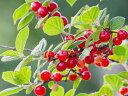 【1年間枯れ保証】【春・夏に収穫する果樹】ユスラウメ/赤実 15cmポット  【あす楽対応】