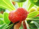 【1年間枯れ保証】【春・夏に収穫する果樹】ヤマモモ/森口 1...