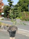 【1年間枯れ保証】【春に花が咲く木】レンギョウ 0.4m15...