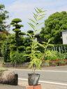 【1年間枯れ保証】【春に花が咲く木】レンギョウ 0.7m10...