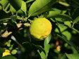 【1年間枯れ保証】【冬に収穫する果樹】レモン/四季成りレモン 15cmポット  5本セット 送料無料 【あす楽対応】