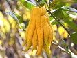 【1年間枯れ保証】【冬に収穫する果樹】ブッシュカン 15cmポット  5本セット 送料無料 【あす楽対応】