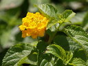【1年間枯れ保証】【低木】ランタナ/黄色 9.0cmポット 【あす楽対応】