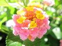 【1年間枯れ保証】【低木】ランタナ/ピンク 9.0cmポット 【あす楽対応】